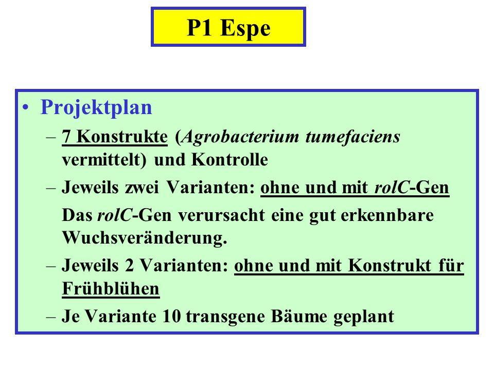 P1 Espe Projektplan –7 Konstrukte (Agrobacterium tumefaciens vermittelt) und Kontrolle –Jeweils zwei Varianten: ohne und mit rolC-Gen Das rolC-Gen ver