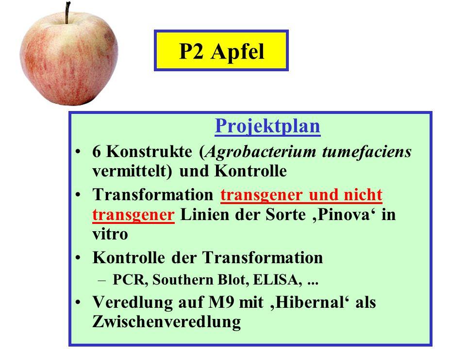 Projektplan 6 Konstrukte (Agrobacterium tumefaciens vermittelt) und Kontrolle Transformation transgener und nicht transgener Linien der Sorte Pinova i
