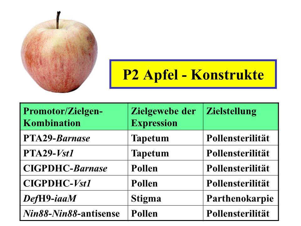 P2 Apfel - Konstrukte Promotor/Zielgen- Kombination Zielgewebe der Expression Zielstellung PTA29-BarnaseTapetumPollensterilität PTA29-Vst1TapetumPolle
