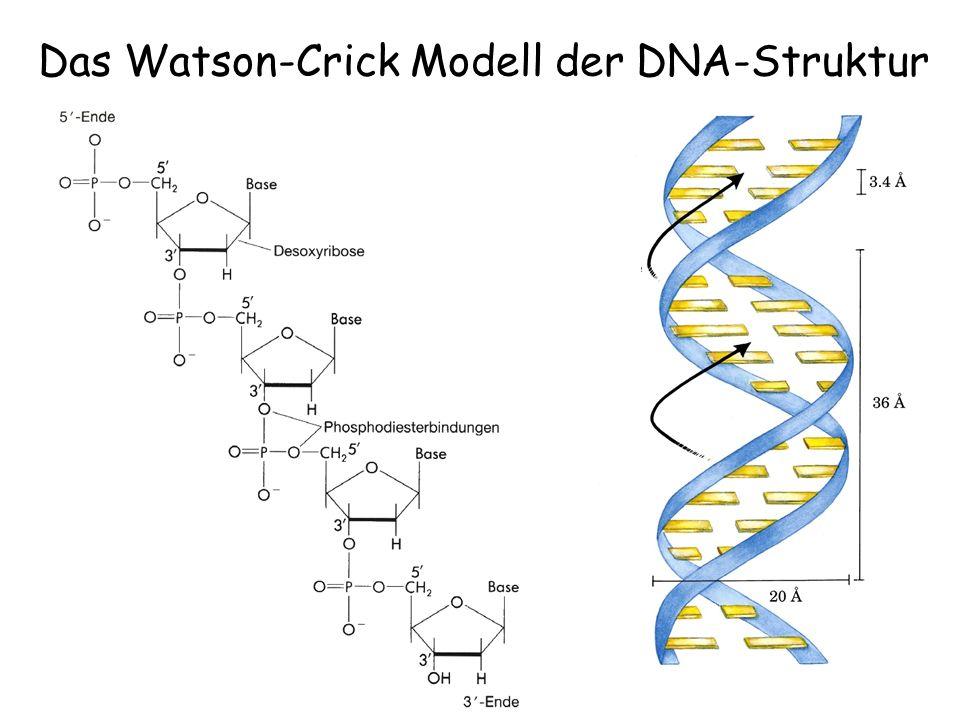 Das Watson-Crick Modell der DNA-Struktur