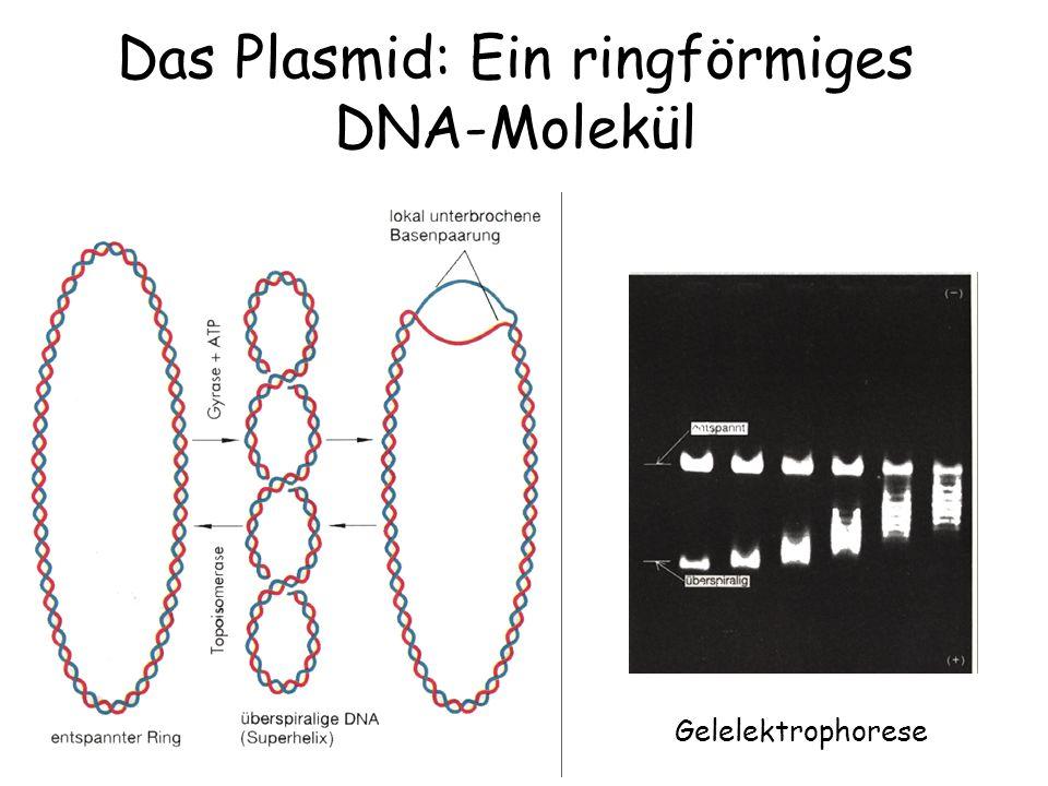 Das Plasmid: Ein ringförmiges DNA-Molekül Gelelektrophorese