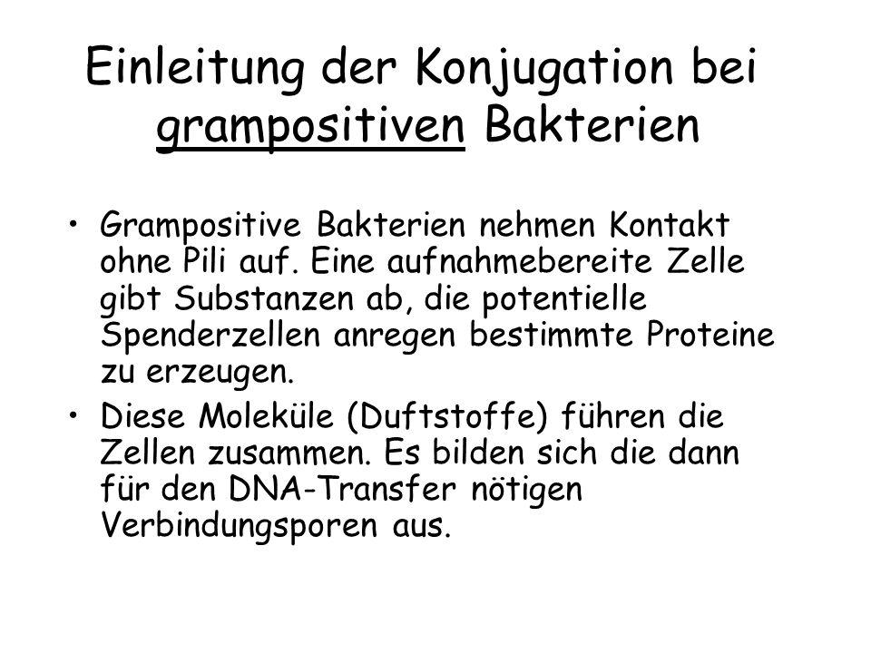 Einleitung der Konjugation bei grampositiven Bakterien Grampositive Bakterien nehmen Kontakt ohne Pili auf. Eine aufnahmebereite Zelle gibt Substanzen