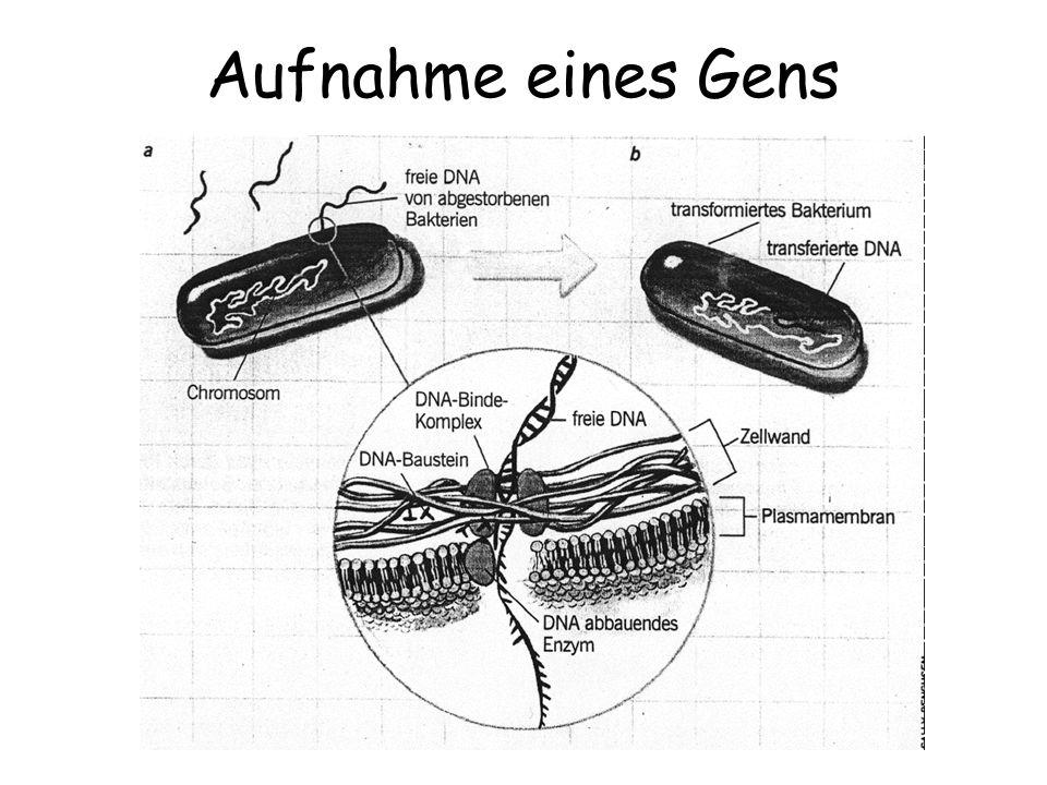 Aufnahme eines Gens