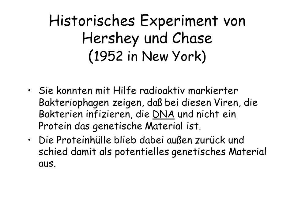 Historisches Experiment von Hershey und Chase ( 1952 in New York) Sie konnten mit Hilfe radioaktiv markierter Bakteriophagen zeigen, daß bei diesen Vi