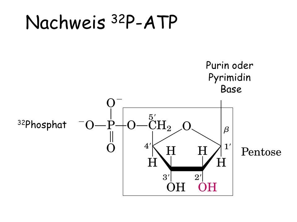 Purin oder Pyrimidin Base 32 Phosphat Nachweis 32 P-ATP
