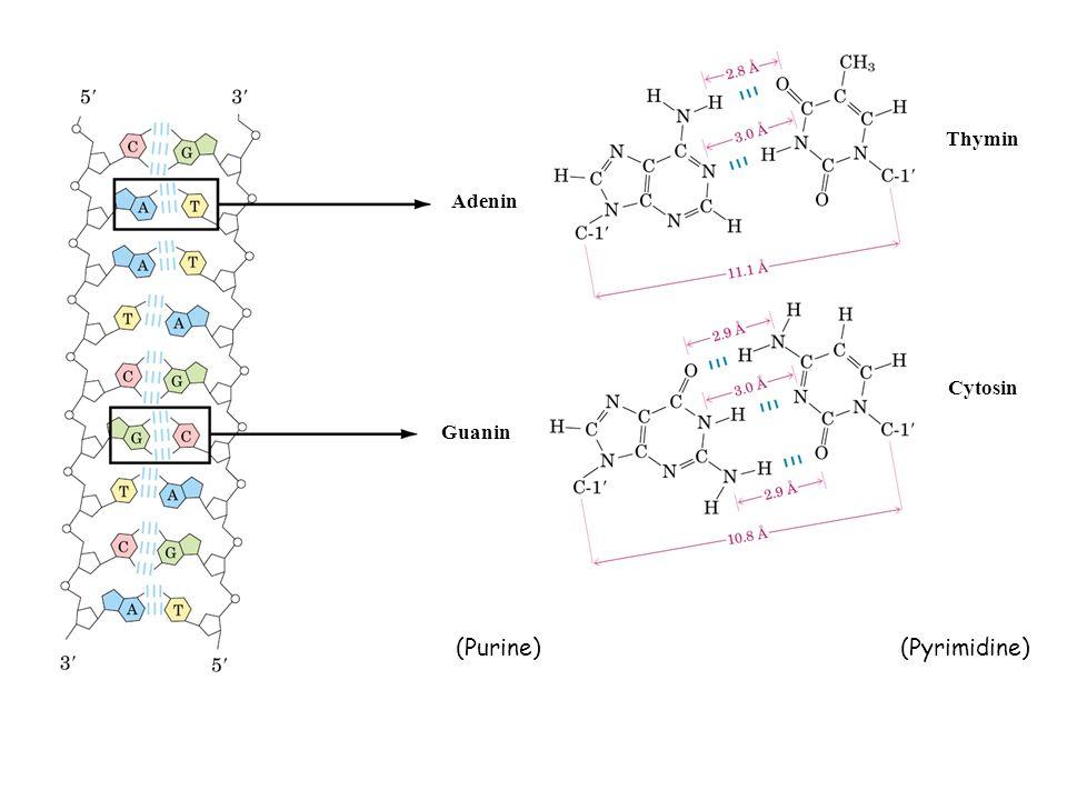 Guanin Adenin Thymin Cytosin (Purine)(Pyrimidine)