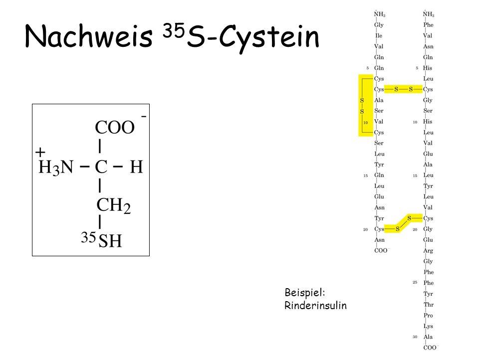 Nachweis 35 S-Cystein Beispiel: Rinderinsulin
