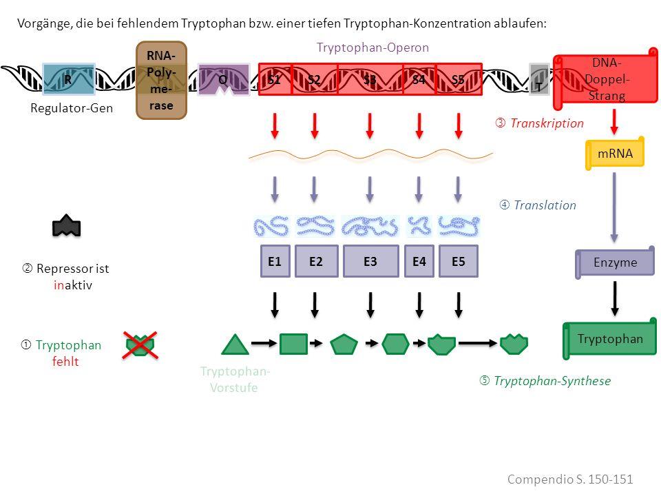 Tryptophan VORHANDEN Tryptophan fehlt S1PS2RS3S4S5 Compendio S. 150-151 mRNA Transkription Translation Enzyme Tryptophan E1E2E3E4E5 Repressor ist inak