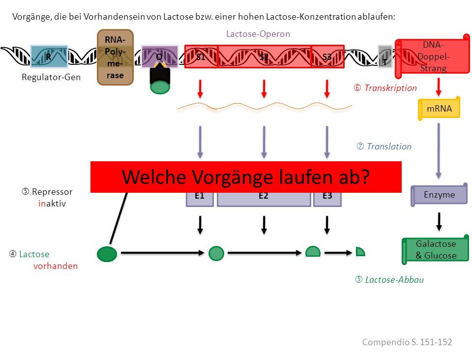 KEINE Lactose mehr VORHANDEN Lactose eii vorhanden S1PRS2S3 Compendio S. 151-152 mRNA Transkription Translation Enzyme Galactose & Glucose DNA- Doppel