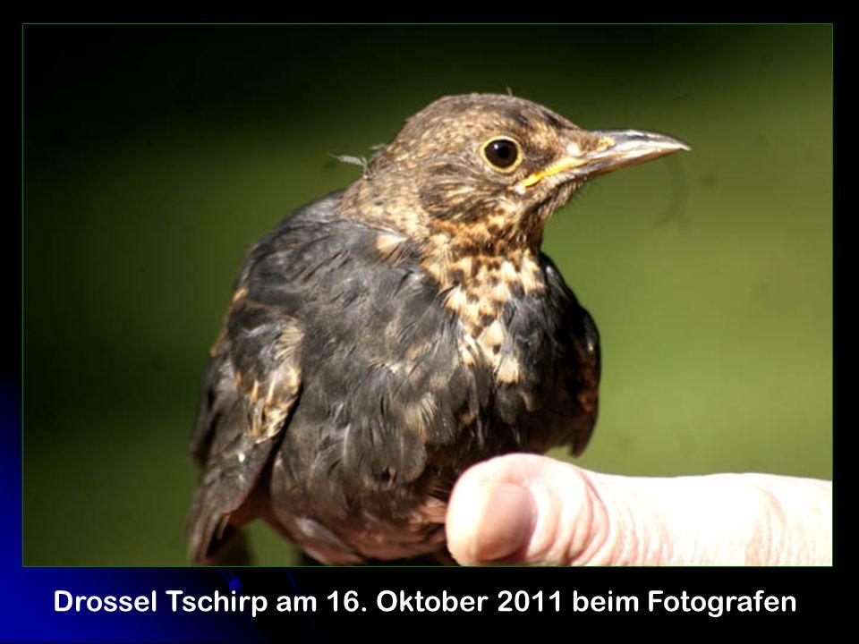 Drossel Tschirp am 16. Oktober 2011 beim Fotografen