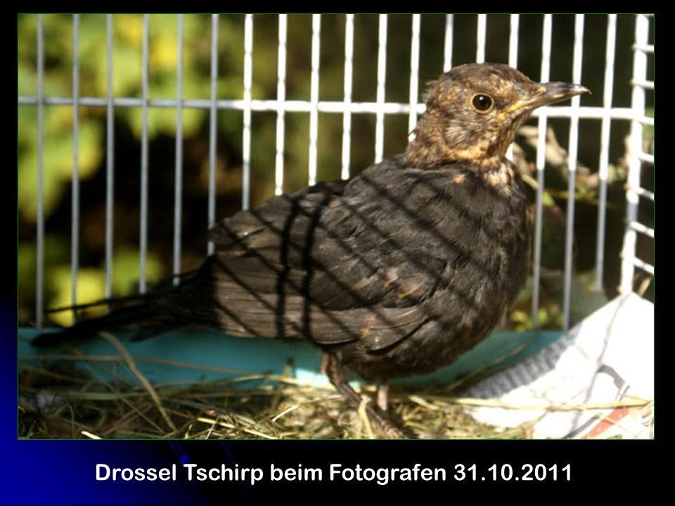 Drossel Tschirp beim Fotografen 31.10.2011