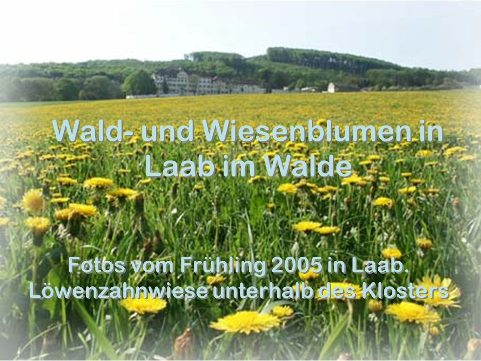 Wald- und Wiesenblumen in Laab im Walde Fotos vom Frühling 2005 in Laab. Löwenzahnwiese unterhalb des Klosters
