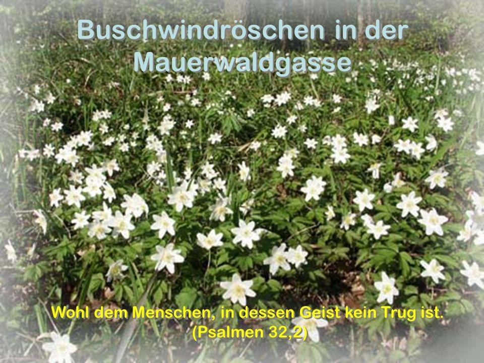 Buschwindröschen in der Mauerwaldgasse Wohl dem Menschen, in dessen Geist kein Trug ist. (Psalmen 32,2) Wohl dem Menschen, in dessen Geist kein Trug i