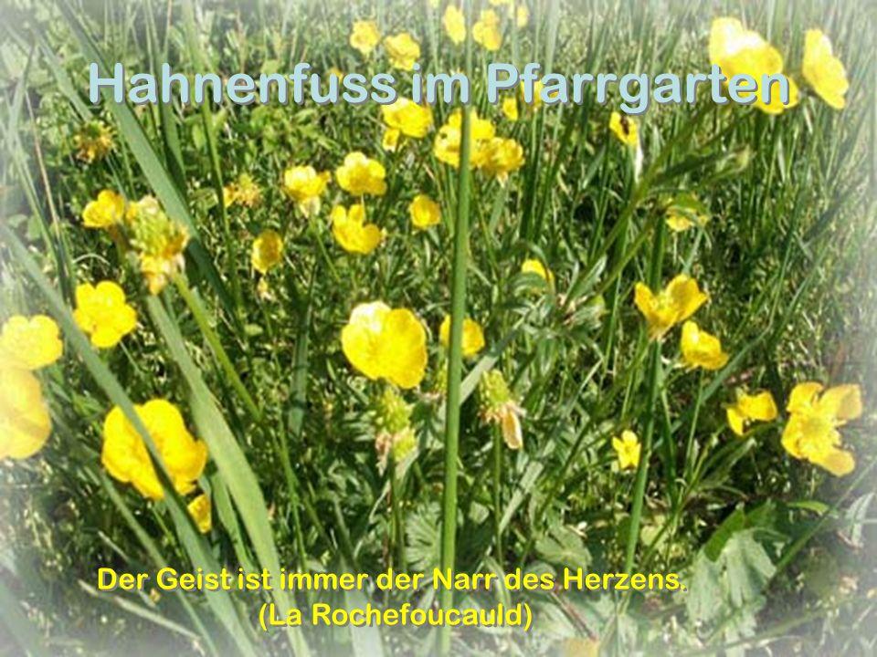 Hahnenfuss im Pfarrgarten Der Geist ist immer der Narr des Herzens.
