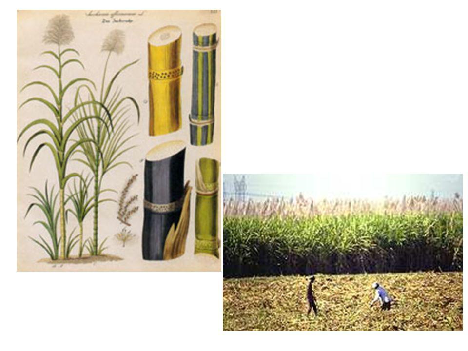 Geschichte: Zuckerrohr in Brasilien Linda & Dominique 4 Produkte Nahrungsmittel grünlicher Saft Garapa oder Caldo de Cana zähflüssige Melasse Melado (in Brotaufstrichen, Süssspeisen und Fruchtmischungen) steinharte, gelblich-grüne Zuckertafeln Rapadura Naturzucker Açucar Mascavo raffinierter Zucker Açucar refinado gesünderen, leichter zu konservierenden Lebensmitteln Zuckerrohr-Schnaps (Cachaça)