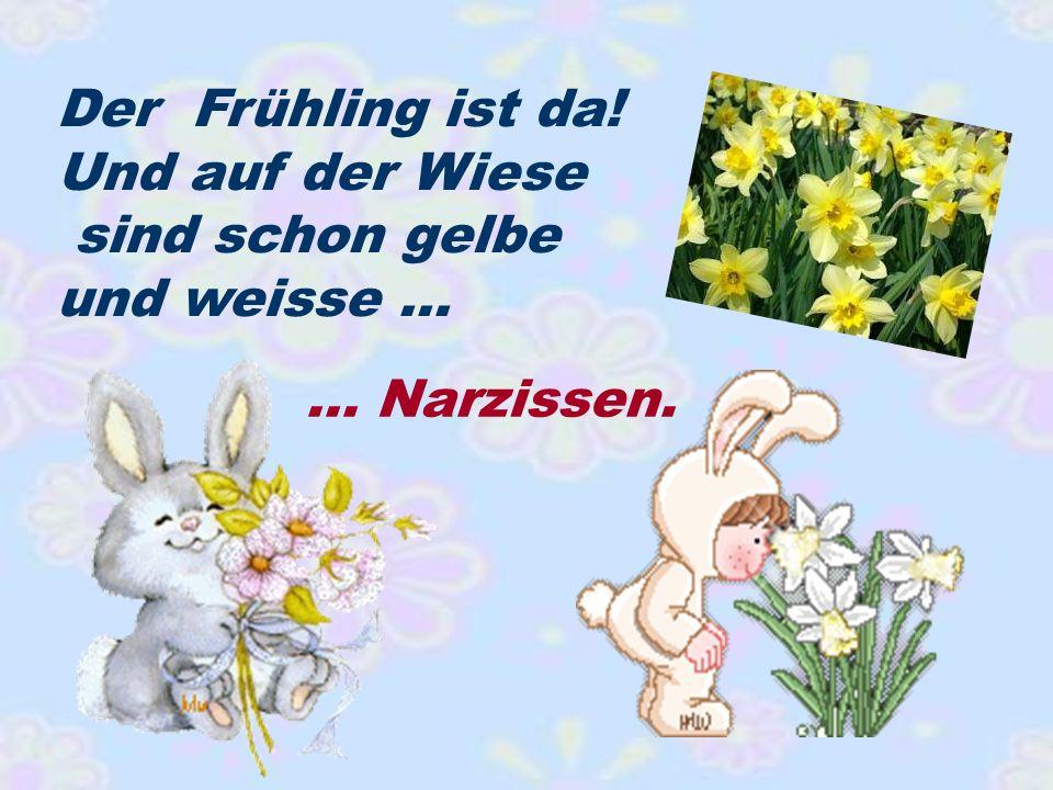 Der Frühling ist da! Und auf der Wiese sind schon gelbe und weisse … … Narzissen.