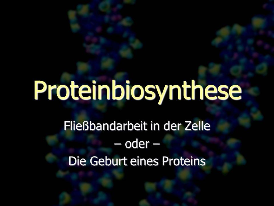 Proteinbiosynthese Fließbandarbeit in der Zelle – oder – Die Geburt eines Proteins