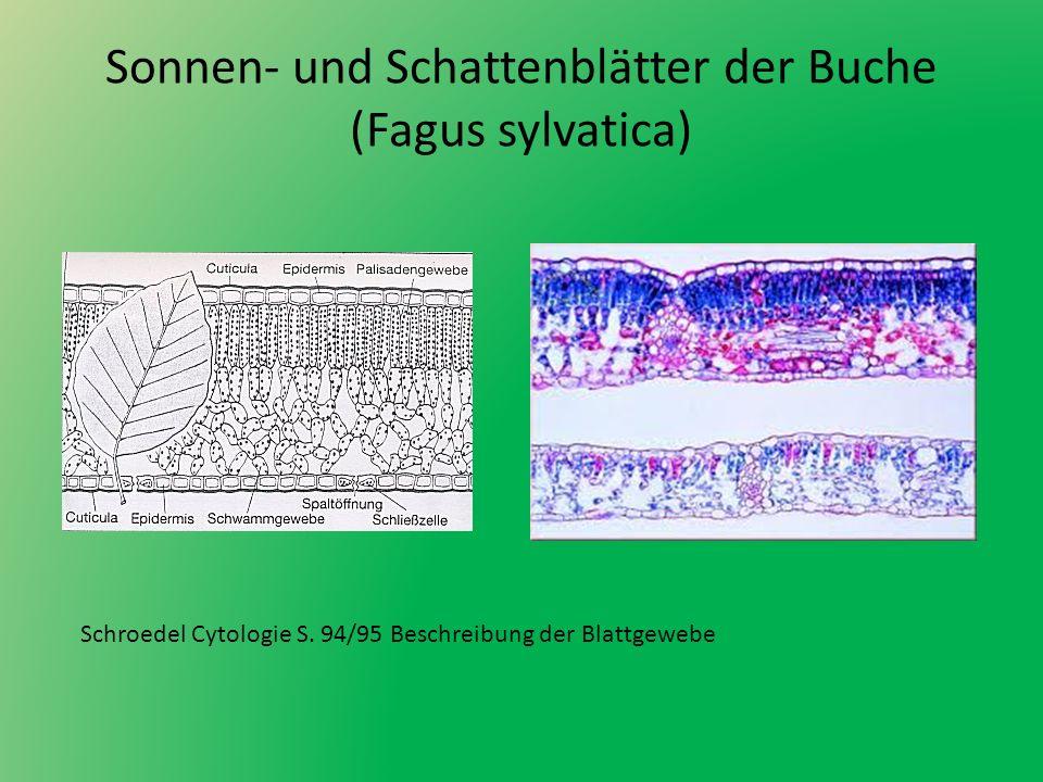 Sonnen- und Schattenblätter der Buche (Fagus sylvatica) Schroedel Cytologie S. 94/95 Beschreibung der Blattgewebe