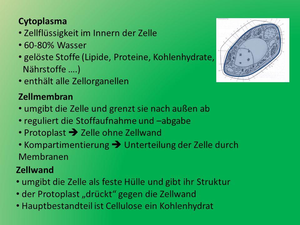 Cytoplasma Zellflüssigkeit im Innern der Zelle 60-80% Wasser gelöste Stoffe (Lipide, Proteine, Kohlenhydrate, Nährstoffe ….) enthält alle Zellorganell