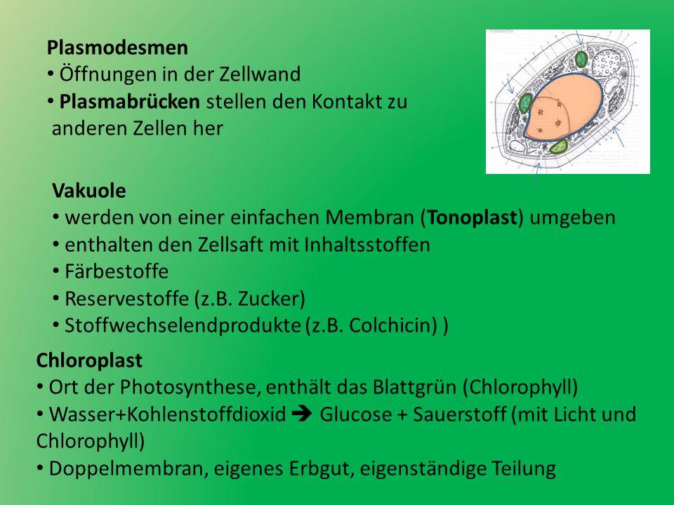 Mitochondrien Kraftwerke der Zelle Ort der Zellatmung Sauerstoff + Glucose Wasser + Kohlenstoffdioxid +ATP doppelte Membran, eigenes Erbmaterial, eigenständige Teilung Ribosomen Ort der Einweißsynthese (Proteinbiosynthese) liegen frei im Cytoplasma vor oder am rauen ER verarbeitet Informationen aus dem Zellkern (RNA)