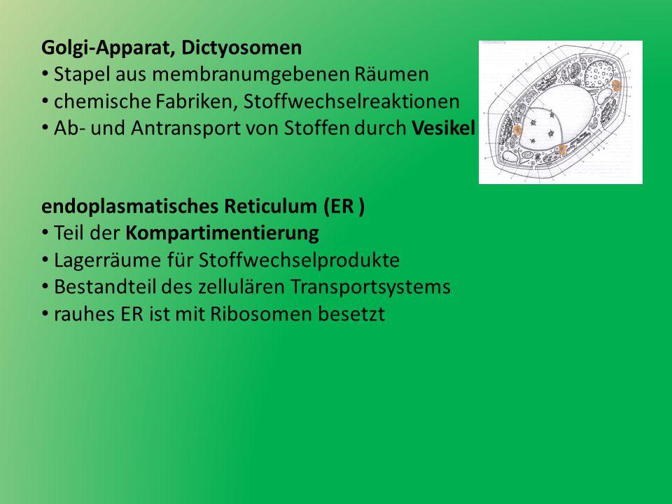 Golgi-Apparat, Dictyosomen Stapel aus membranumgebenen Räumen chemische Fabriken, Stoffwechselreaktionen Ab- und Antransport von Stoffen durch Vesikel