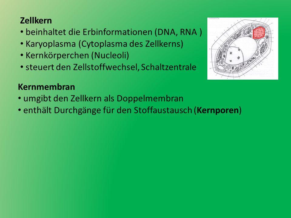 Zellkern beinhaltet die Erbinformationen (DNA, RNA ) Karyoplasma (Cytoplasma des Zellkerns) Kernkörperchen (Nucleoli) steuert den Zellstoffwechsel, Sc