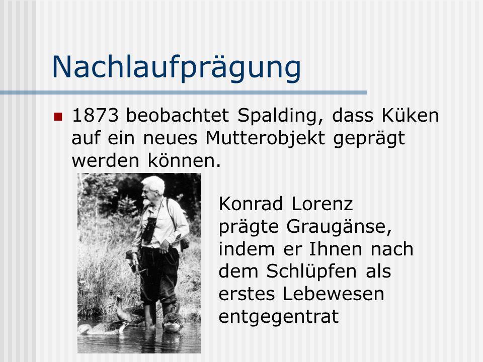 Nachlaufprägung 1873 beobachtet Spalding, dass Küken auf ein neues Mutterobjekt geprägt werden können. Konrad Lorenz prägte Graugänse, indem er Ihnen