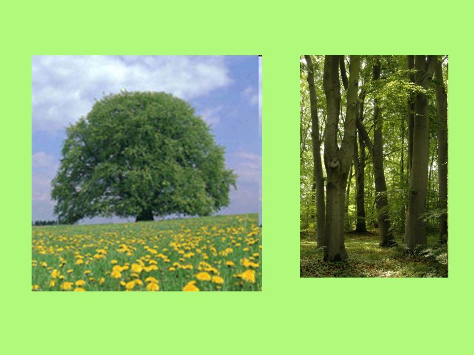 Häufigster Laubbaum in den Wäldern Deutschlands (14 %) Verbreitung bis 1500 m Rötliche Färbung des Holzes Max. Höhe:45 m Max. Durchmesser:2m Max. Alte