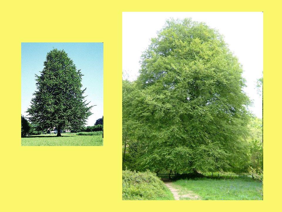 Als Heilmittel Bachblütentherapie (Toleranzblüte) Samen, Blätter und Rinde gegen versch.
