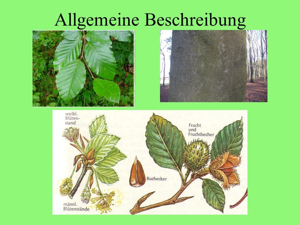 Quellen de.wikipedia.org Ewald Venzl: Pflanzenkunde 2 Steinbachs Naturführer: Bäume Gu Naturführer: Bäume Hildegard von Bingen: Heilkunde www.homoeopathiaviva.de www.pharmazie.uni-mainz.de www.arzneimittel.de