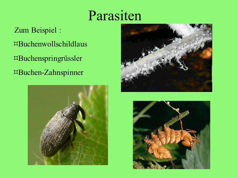 Parasiten Buchenwollschildlaus Buchenspringrüssler Buchen-Zahnspinner Zum Beispiel :