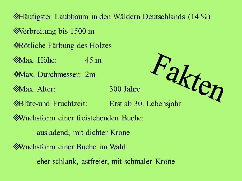 Häufigster Laubbaum in den Wäldern Deutschlands (14 %) Verbreitung bis 1500 m Rötliche Färbung des Holzes Max.