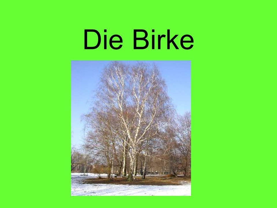 Gliederung Steckbrief Merkmale Birke als Nutzbaum - Holz - Rinde - Inhaltsstoffe Arten Brauchtum und Volkglaube