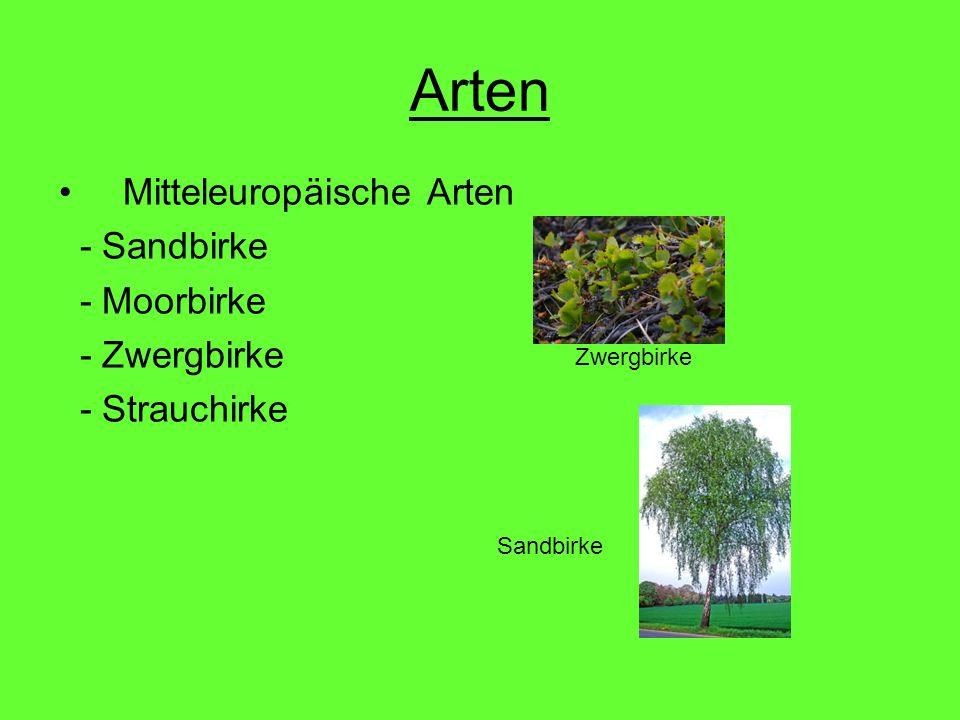 Arten Mitteleuropäische Arten - Sandbirke - Moorbirke - Zwergbirke - Strauchirke Zwergbirke Sandbirke