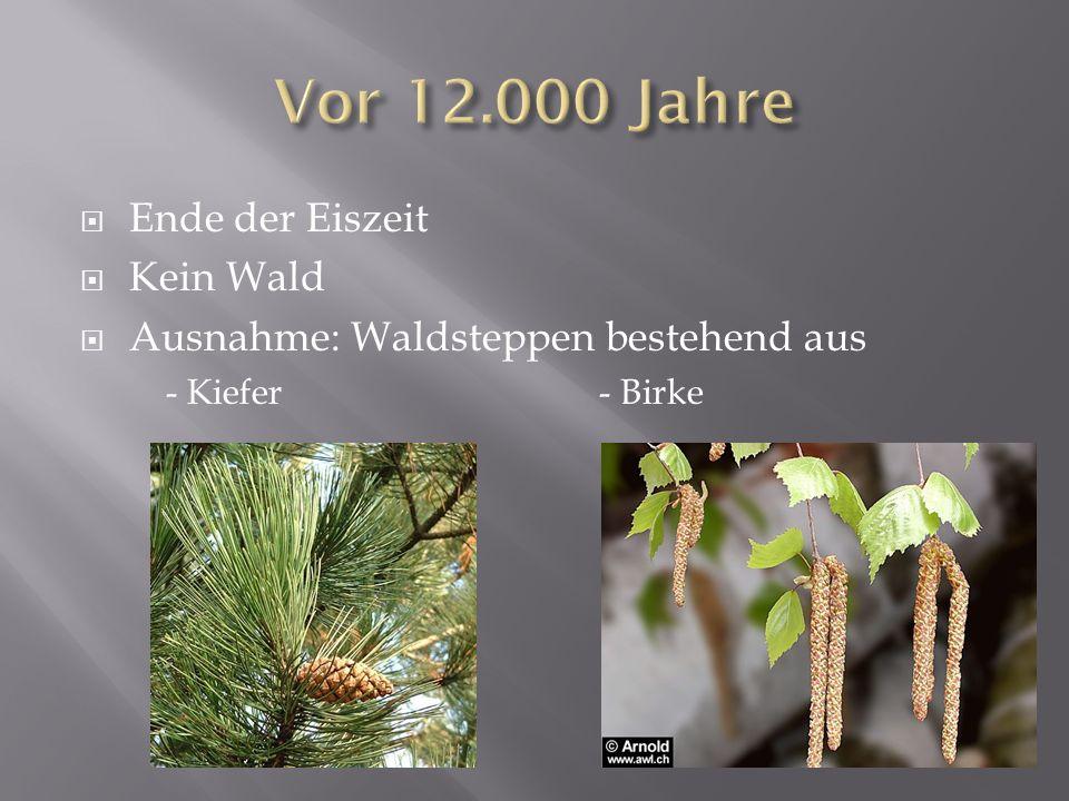 Ende der Eiszeit Kein Wald Ausnahme: Waldsteppen bestehend aus - Kiefer - Birke