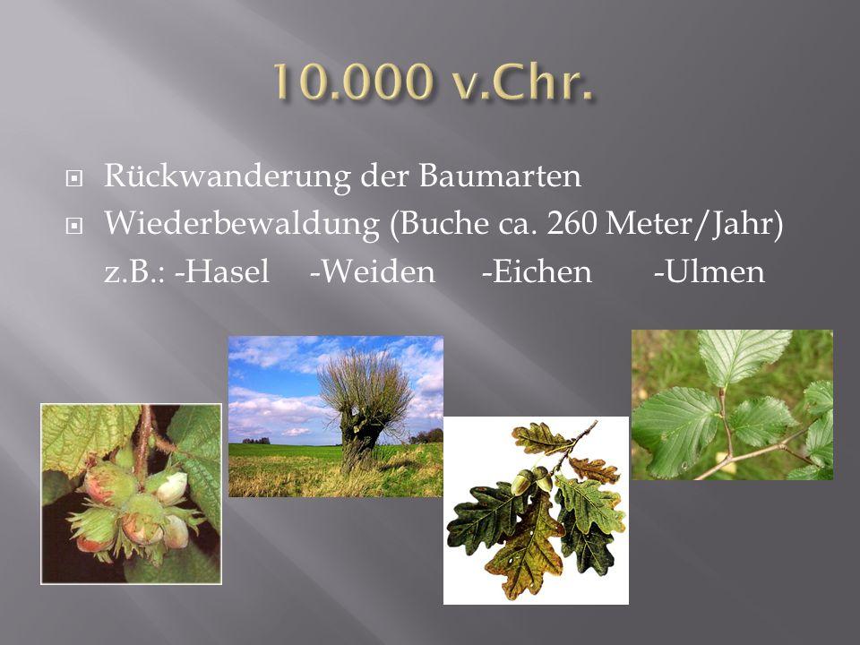 Rückwanderung der Baumarten Wiederbewaldung (Buche ca. 260 Meter/Jahr) z.B.: -Hasel-Weiden -Eichen -Ulmen