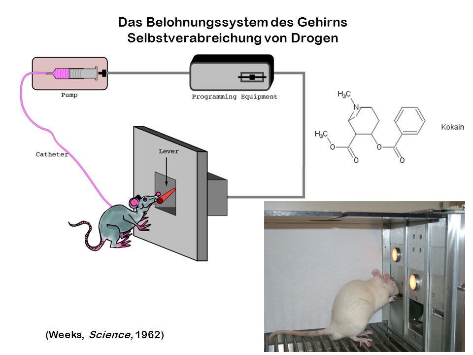 Das Belohnungssystem des Gehirns Selbstverabreichung von Drogen (Weeks, Science, 1962)