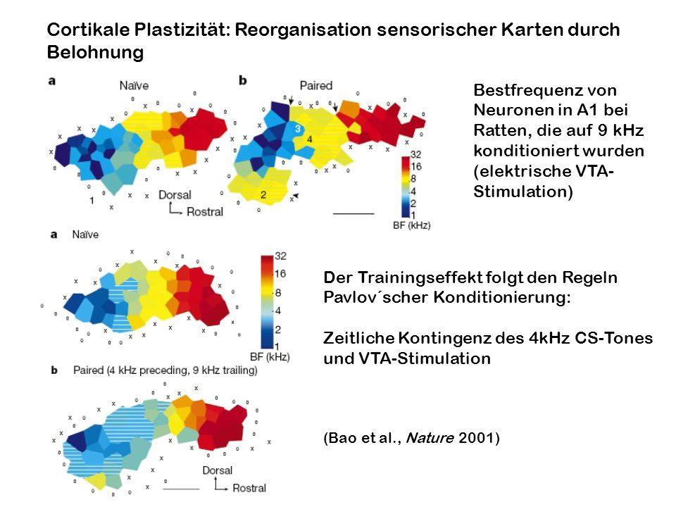 Cortikale Plastizität: Reorganisation sensorischer Karten durch Belohnung Bestfrequenz von Neuronen in A1 bei Ratten, die auf 9 kHz konditioniert wurd