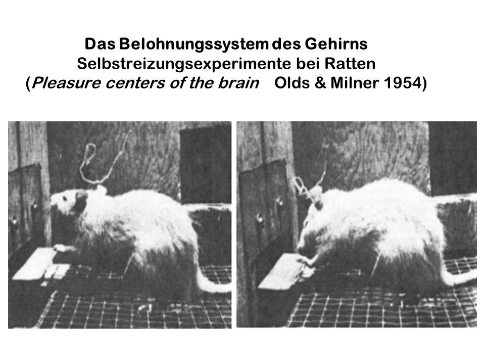 Das Belohnungssystem des Gehirns Selbstreizungsexperimente bei Ratten (Pleasure centers of the brain Olds & Milner 1954)