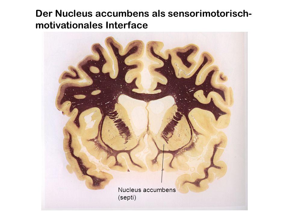 Alle primären Motivationsfaktoren und Drogen eignen sich durch die Freisetzung von Dopamin im Nucleus accumbens als Verstärker (Reinforcer) für das Lernen (klassische und instrumentelle Konditionierung) Neutraler Reiz Konditionierter Reiz
