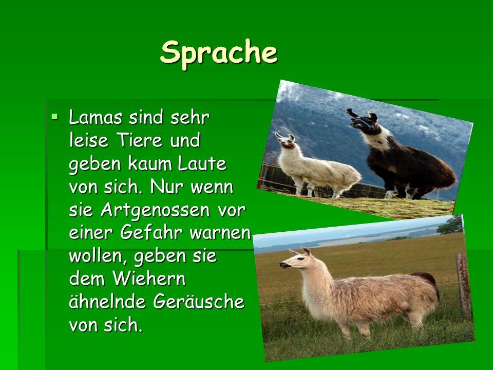 Sprache Sprache Lamas sind sehr leise Tiere und geben kaum Laute von sich.