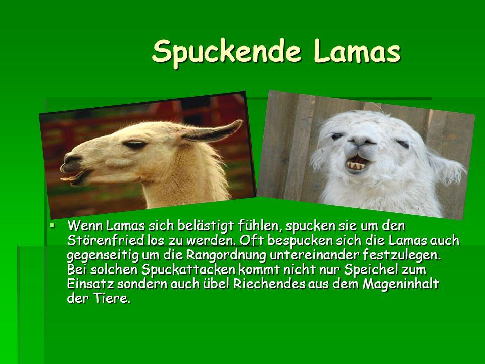 Sprache Sprache Lamas sind sehr leise Tiere und geben kaum Laute von sich. Nur wenn sie Artgenossen vor einer Gefahr warnen wollen, geben sie dem Wieh