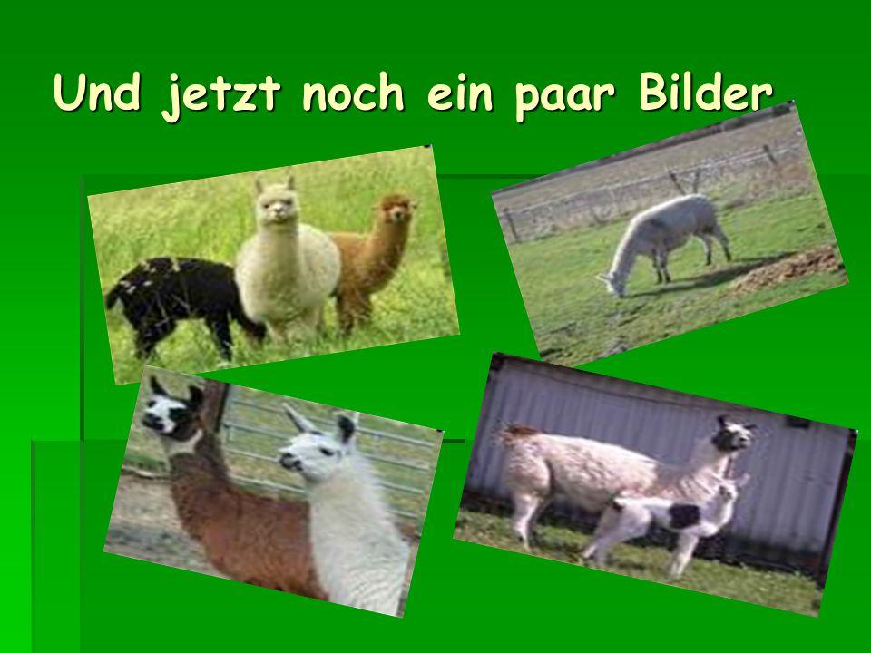 Und hier noch ein Steckbrief zu den Lamas Verwandtschaft: Paarhufer, Kleinkamele Verwandtschaft: Paarhufer, Kleinkamele Lebensraum : Freiweidend auf G