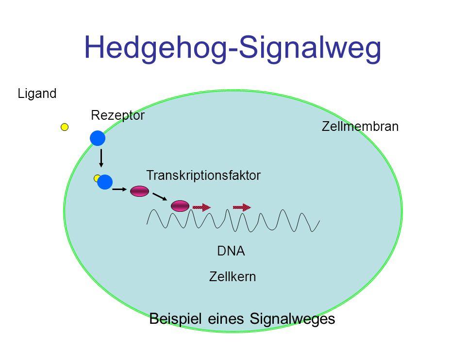 Hedgehog-Signalweg Ligand Rezeptor Transkriptionsfaktor DNA Zellkern Zellmembran Beispiel eines Signalweges