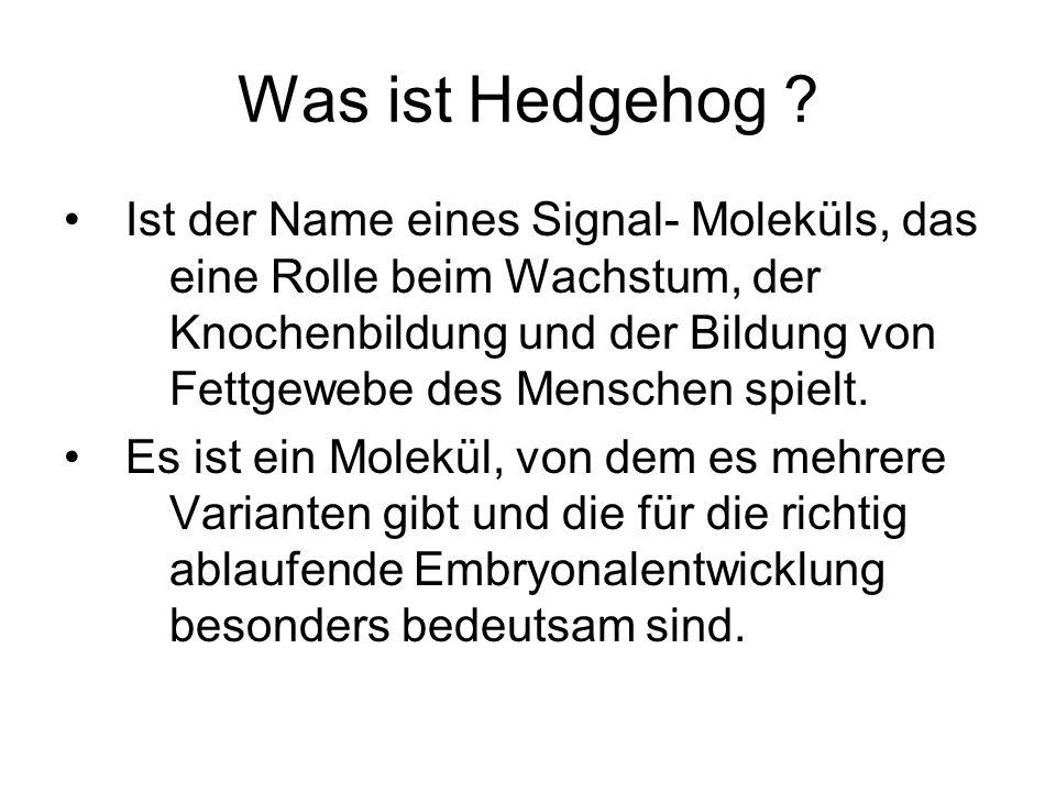 Was ist Hedgehog ? Ist der Name eines Signal- Moleküls, das eine Rolle beim Wachstum, der Knochenbildung und der Bildung von Fettgewebe des Menschen s