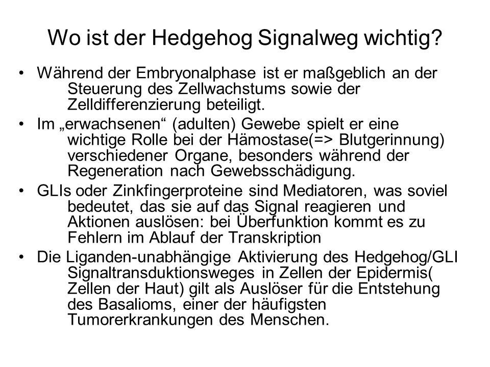 Wo ist der Hedgehog Signalweg wichtig? Während der Embryonalphase ist er maßgeblich an der Steuerung des Zellwachstums sowie der Zelldifferenzierung b