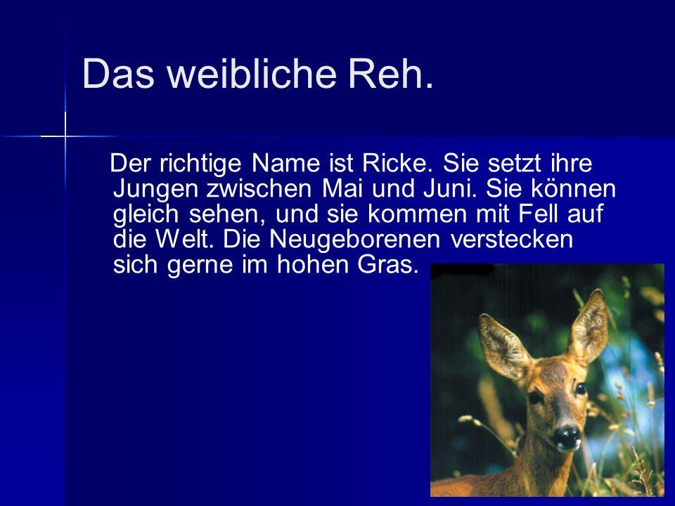 Das weibliche Reh. Der richtige Name ist Ricke. Sie setzt ihre Jungen zwischen Mai und Juni.