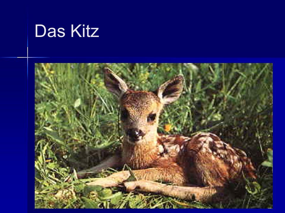 Das Kitz