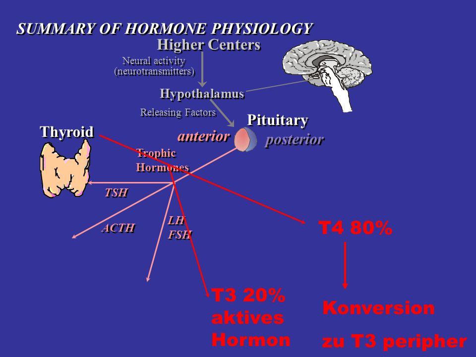 Higher Centers Neural activity (neurotransmitters) Neural activity (neurotransmitters) Hypothalamus Thyroid Pituitary posterior anterior Trophic Hormo