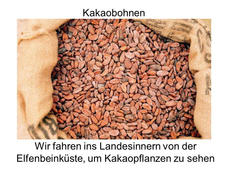 Kakaobohnen Wir fahren ins Landesinnern von der Elfenbeinküste, um Kakaopflanzen zu sehen